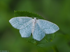Pretty in blue (PershinS) Tags: 7dwf macro blue green butterfly karelia forest blueberries