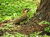 Pica-pau-verde-barrado (Alexandre Marino) Tags: picapauverdebarrado colaptesmelanochloros pássaros aves birds