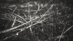 PB_012618_41 (losing.today) Tags: brianyoung oregon pacificnorthwest portland pdx portlandoregon portlandor winter nature outdoors naturepark plantlife plants moodyseason darkseason losingtoday grass grassstudies
