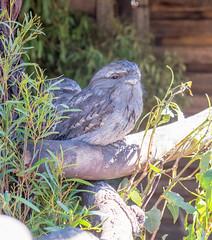 DSCF6164 (twikideaky) Tags: bonorong wildlife sanctuary bonorongwildlifesanctuary tasmania australia tawny frogmouth