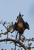 Flying fox (edina.cross) Tags: india asia tree animal flyingfox bat
