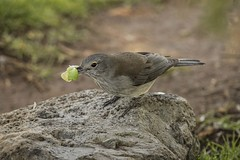 Grey Shrike Thrush (Geoffsnaps) Tags: greyshrikethrush grey shrike thrush cicada ilovebirds ilovenature feathers birds animals nature beautiful beautyofnature birdsarebeautiful superbbirds nikond810 nikon d810 fx nikonnikkor200500mmf56eedafs nikkor 200500mm f56e e ed afs acratechpanoramichead acratech panoramic head gitzogm5541carbonmonopod gitzo gm5541 carbon monopod oreillys lamingtonnationalpark greenmountain queensland australia colluricinclaharmonica green grocer greengrocer