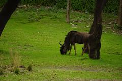 DSC07716.jpg (joe.spandrusyszyn) Tags: byjoespandrusyszyn orlando animalkingdom disneyworld unitedstatesofamerica florida