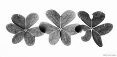 (Im)Perfect Nature (Karen Fayeth) Tags: clover macromondays imperfect imperfection bw black white backyard photowalk blackandwhite foliage lucky luckyclover nature stpaddysday bnw