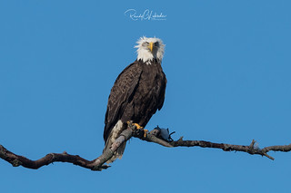 Bald Eagles of the Jersey Shore | 2018 - 32