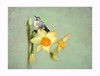 *****  Garden fairytale  **** (Krasne oci) Tags: flowerart daffodil bird hummingbird spring texturedphoto painterly yellow evabartos artistic photographicart artphotography textured fantasy