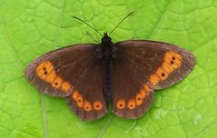 Erebia sp unknown -Zillertal Austria -July17 (1) (ailognom2005) Tags: erebiasp zillertalaustria butterflies butterfliesmothsandcaterpillars butterfliescaterpillars insects macro zillertalvalley austria