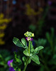 New life (savonnaslessley) Tags: canon5dmarkiii canon35mmf2is phippsbotanicalgardens phipps pittsburgh oakland greenhouse spring garden schenleypark buds flowerbud green leaves purple