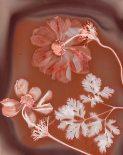 Anemone Lumen Print