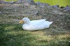 A Happy Duck Is Happy (illetyus / Instagram @illetyus09) Tags: duck happy wildlife sasalı izmir
