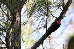 Pileated Woodpecker (Arthur Windsor - Florida Wildlife) Tags: pileated woodpecker florida bird riverbend park jupiter