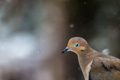 She has that look (langdon10) Tags: bird canada canon70d novascotia cold mourningdove outdoors snow winter