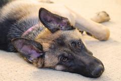 Hello (ShannonVanB) Tags: germanshepherd dog canine upclose browneyes bored tired brown creme