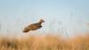 Partidge in long grass (Bondy Taylor) Tags: bif bokeh dof flight grass longgrass outdoor wildlife bird feathers golden lowangle nature wild wings hawling england unitedkingdom gb