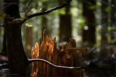 rotted trunk (klaus.huppertz) Tags: neuschönau trunk stem stamm baumstamm wald forest licht light holz wood baum tree bavarianforest nationalpark bayerischerwald nikon nikond750 d750 tamron plants pflanzen tamron70200