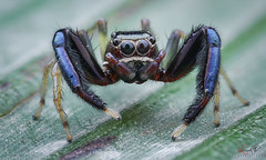 Jumping spider (Le Anh The) Tags: jumpingspider flashdiffuser diffuser diydiffuserflash canon macro macrophotography portrait insect insects manual tiny extreme explore extensiontube reversed