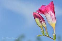 Frezia flower (Nikos Roditakis) Tags: frezia flowers beautiful spring garden nikos roditakis nikon d5200 macro tamron af sp 90mm f28