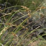 western sedge, Carex occidentalis thumbnail