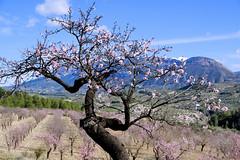 almond tree and flowers (atsjebosma) Tags: amandelbloesem almond almondtrees landscape trees boom spain light licht atsjebosma 2018 ngc npc