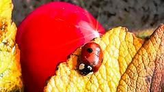 Meet Lady Bug (evakongshavn) Tags: 7dwf macroshot macrounlimited macro makro makroaufnahmen close closeup ladybug marihøne insect red yellow insects