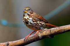 "Fox_Sparrow_01 (DonBantumPhotography.com) Tags: wildlife nature birds animals foxsparrow ""donbantumphotographycom"" ""donbantumcom"" ""nikon d7200"" ""afs nikkor 200500mm f56e ed vr"""