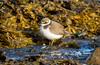Ringed plover / Sandlóa (Charadrius hiaticula) (thorrisig) Tags: 14092017 charadriushiaticula dýr fuglar grótta ringedplover sandlóa vaðfugl sigurgeirsson sigurgeirssonþorfinnur iceland ísland island icelandicanimals thorrisig thorfinnursigurgeirsson thorri þorrisig thorfinnur þorfinnur þorri þorfinnursigurgeirsson birds íslenskirfuglar icelandicbirds shorebird waterbird wadingbird