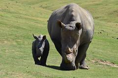 DSC_4664 (Andrew Nakamura) Tags: animal mammal rhino rhinoceros southernwhiterhino whiterhino whiterhinoceros rhinocalf mothercalf grazing sandiegozoosafaripark safaripark escondido