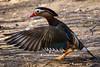 kbs - -8080 (ericvdb) Tags: duck mandarinduck bird