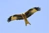 Red Kite (stellagrimsdale) Tags: redkite bird birdinflight slough