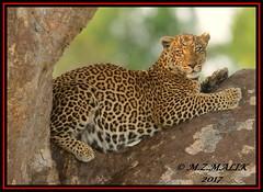 LEOPARD (Panthera pardus) ...MASAI MARA.....SEPT 2017 (M Z Malik) Tags: nikon d800e 400mmf28gedvr kenya africa safari wildlife masaimara keekoroklodge exoticafricanwildlife exoticafricancats flickrbigcats leopard pantheraparduc ngc npc