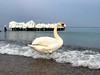 Baltic Sea, March, 2018 (woonderluster) Tags: балтийскоеморе море лебедь чайка water snow balticsea sea seagull swan