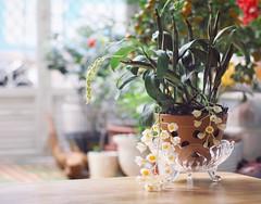 (bambooland) Tags: orchid flowers plant garden myyard mygarden gardening