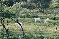 Capre Girgentane (vasapolliluca) Tags: agrigento sicilia italia it sicily templi tempio temples italy rovine mandorlo mandorle fiori almond tree