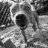Meatloaf10Mar201873-Edit.jpg (fredstrobel) Tags: dogs pawsatanta phototype atlanta blackandwhite usa animals ga pets places pawsdogs decatur georgia unitedstates us