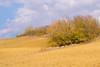 dry hills (phacelias) Tags: terra soil aarde struiken bushes cespugli clouds nuvole wolken