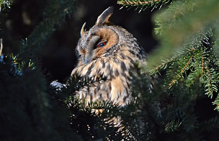 Long-eared owl. Again... Sorry.😎 4.3.2018. Napping...