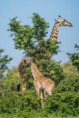 Adult and Juvenile Masai Giraffes (Gordon Magee) Tags: africa masaigiraffegiraffacamelopardalis kenya masaimara