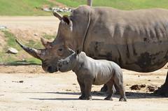 DSC_4483 (Andrew Nakamura) Tags: animal mammal rhino rhinoceros southernwhiterhino whiterhino whiterhinoceros rhinocalf mothercalf sandiegozoosafaripark safaripark escondido