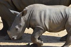 DSC_4702 (Andrew Nakamura) Tags: animal mammal rhino rhinoceros southernwhiterhino whiterhino whiterhinoceros rhinocalf onthemove sandiegozoosafaripark safaripark escondido