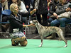 Best in show (ikkio_too) Tags: dogshow crufts whippet hound winner olympus omdem1 mzd14150mm picasa