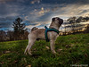 Proud pug (wketsch) Tags: leaves graz pet forest nature dog mood pug pup leechwald sunrise animal