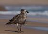 Pacific Gull Larus pacificus Laridae (Mykel46) Tags: pacific gull larus pacificus laridae