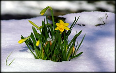 Daffodils in snow (* RICHARD M (Over 7 MILLION VIEWS)) Tags: daffodils narcissus narcisseae flowers flora plants wildflowers nature snow february winter wintertime winterweather coldweather botany woodland parkland heskethpark southport sefton merseyside parks publicparks municipleparks flowersinsnow mothernature happiness eternallife