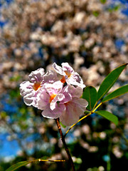 lavander trumpet tree (DOLCEVITALUX) Tags: pinktrumpettree tabebuiapallidalindlmiers lavandertrumpettree trumpettree philippines lumixlx100 panasoniclumixlx100 flower flowers flora fauna