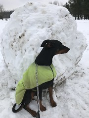 Saxon and a Gigantic Snowball - Beast of the East / Storm Emma - Ennis, Ireland - March 3, 2018 (firehouse.ie) Tags: march32018 ireland ennis beastoftheeast stormemma pinscher pinschers dobermans doberman dobermanns dobermann gigantic ball snowballs snowball snowscape snowfall snowing snowstorm snow saxon
