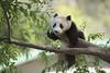 Xiao Liwu  - Little Gift (Rita Petita) Tags: xiaoliwu littlegift sandiegozoo sandiego california china panda giantpanda specanimal specanimalphotooftheday