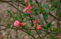 Blooms Perched on the Branches (BKHagar *Kim*) Tags: bkhagar bloom blooming flower bush nature athens al limestonecounty