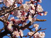 梅が満開 (nofrills) Tags: 梅 白梅 ウメ flora floral spring nature urbannature plant plants flower flowers plum plums plumblossom tree urbantree