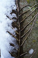 Ivy Spine Snow & Tree (Paul H Atkinson) Tags: still 28mmwideangle naturestilllife snow lichen ivy nikond600