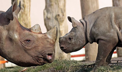 black rhino Naima and Mara Blijdorp BB2A0205 (j.a.kok) Tags: rhino rhinoceros blackrhinoceros zwarteneushoorn neushoorn puntlipneushoorn animal blijdorp mammal zoogdier dier herbivore africa afrika naima mara